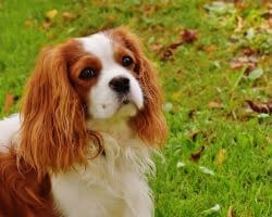 dog-cavalier-king-charles-spaniel-pet-162193-1